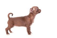 巧克力在白色的奇瓦瓦狗小狗 库存图片