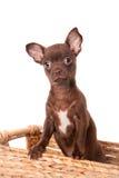 巧克力在白色的奇瓦瓦狗小狗 库存照片