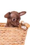 巧克力在白色的奇瓦瓦狗小狗 免版税库存照片