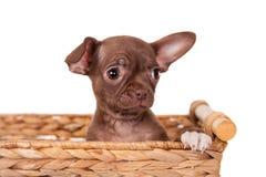 巧克力在白色的奇瓦瓦狗小狗 免版税库存图片