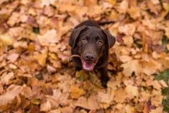 巧克力坐在公园的拉布拉多猎犬 秋叶 免版税图库摄影