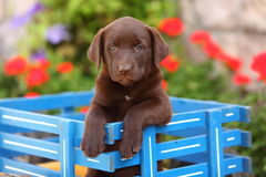 巧克力坐在无盖货车的拉布拉多猎犬 免版税库存照片