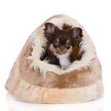 巧克力奇瓦瓦狗小狗在一个软的房子里 库存照片