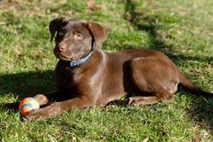 巧克力实验室小狗在公园 库存图片