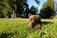 巧克力实验室小狗在公园 免版税库存照片