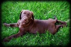 巧克力实验室小狗 库存照片