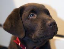 巧克力实验室小狗 免版税库存照片