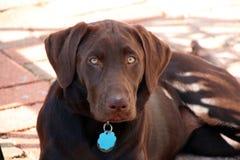 巧克力实验室小狗 免版税库存图片