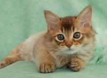 巧克力小猫休息索马里 免版税库存图片