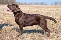 巧克力拉布拉多猎犬小狗(年龄7,0个月) 库存图片
