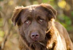 巧克力拉布拉多猎犬比利牛斯混合狗 免版税库存图片