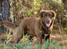 巧克力拉布拉多猎犬比利牛斯混合狗 库存照片