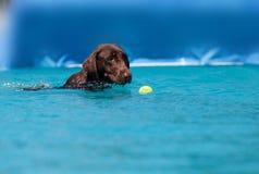 巧克力拉布拉多猎犬游泳与玩具 免版税库存图片