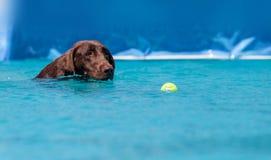 巧克力拉布拉多猎犬游泳与玩具 库存图片