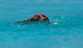 巧克力拉布拉多猎犬游泳与玩具 免版税库存照片