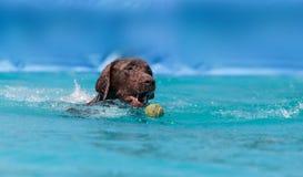 巧克力拉布拉多猎犬游泳与玩具 免版税图库摄影