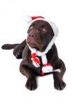 巧克力拉布拉多猎犬狗 免版税库存照片