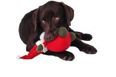 巧克力拉布拉多猎犬狗 免版税图库摄影