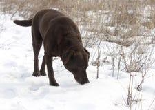 巧克力拉布拉多猎犬 库存照片