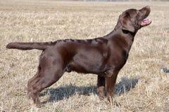 巧克力拉布拉多猎犬,年龄7 0个月 库存照片
