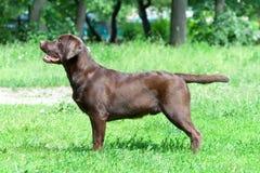 巧克力拉布拉多猎犬(年龄9,0个月) 免版税图库摄影