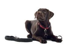 巧克力拉布拉多猎犬 免版税库存照片