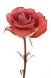 巧克力接近红色玫瑰色  免版税图库摄影