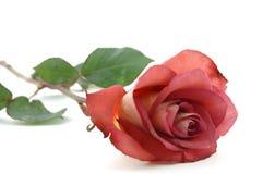 巧克力接近红色玫瑰色  库存图片