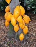 巧克力树 免版税图库摄影