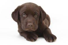 巧克力注视绿色拉布拉多小狗猎犬 免版税库存照片