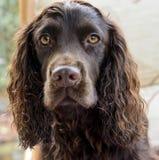 巧克力猎犬的顶头射击 免版税图库摄影