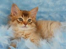 巧克力索马里小猫的纵向 库存图片