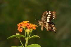 巨人与残破的翼的Swallowtail蝴蝶 免版税图库摄影