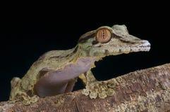 巨人叶子被盯梢的壁虎/Uroplatus fimbriatus 免版税库存照片