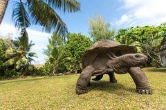 巨人在一个海岛上的阿尔达布拉环礁草龟在塞舌尔群岛 库存照片