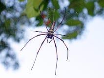 巨人木蜘蛛Nephila pilipes/巨型金黄天体 免版税库存照片