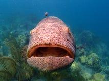 巨人石斑鱼佛罗里达群岛 免版税库存图片