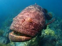 巨人石斑鱼佛罗里达群岛 免版税库存照片