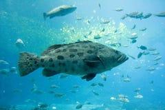 巨人石斑鱼 库存图片