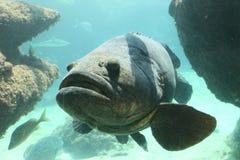 巨人石斑鱼 免版税库存照片