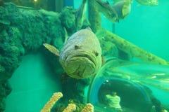 巨人被察觉的石斑鱼 库存图片