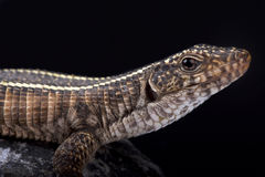 巨人被镀的蜥蜴, Matobosaurus validus 免版税库存照片