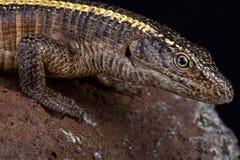 巨人被镀的蜥蜴Matobosaurusvalidus 免版税库存照片