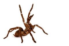 巨人鸟食者塔兰图拉毒蛛 免版税库存图片