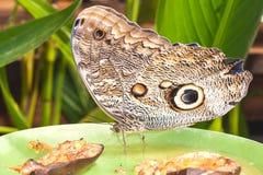 巨人Caligo oileus, Oileus巨型猫头鹰蝴蝶,似亚马逊r 库存图片