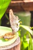 巨人Caligo oileus, Oileus巨型猫头鹰蝴蝶,似亚马逊r 免版税库存照片