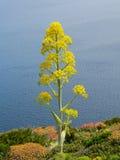 巨人Fennell 大茴香草本种属的L 库存照片