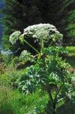 巨人Hogweed (Heracleum sphondylium) 免版税库存图片