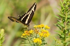 巨人Swallowtail 免版税库存照片
