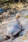 巨型乌龟在加拉帕戈斯 库存图片